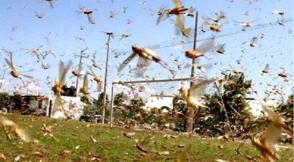 Επιδρομή εκατομμυρίων ακρίδων στη Σαρδηνία - Σ&epsilo