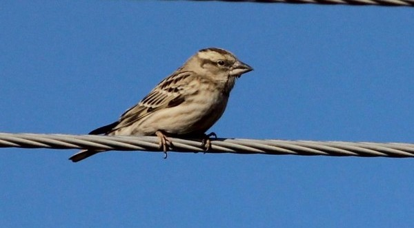 Σε προστατευόμενο είδος μετατρέπεται ο σπουργίτης στην Κύπρο (ΒΙΝΤΕΟ)