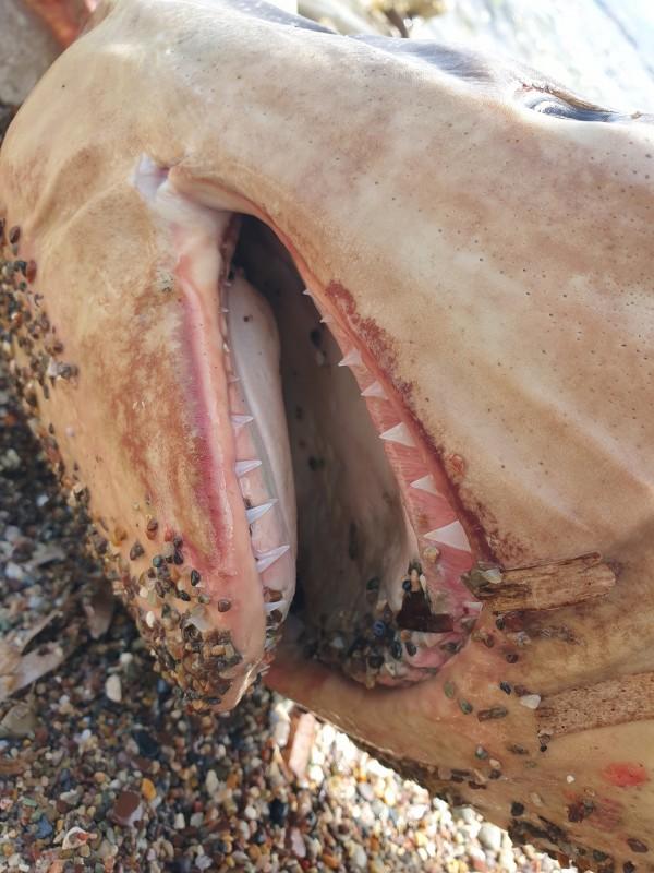 В Полисе на берег выбросило молодую мертвую акулу: фото 3